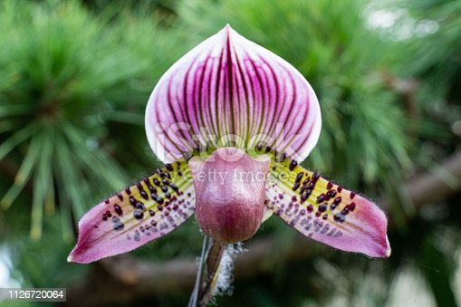 Lady's slipper, lady slipper or slipper orchid Paphiopedilum. Close-up photo of beautiful flower in nature