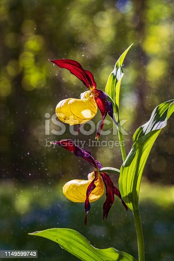 Ladys Slipper Orchid bloom in the pouring rain like snowing. Blossom and water drops like snow. Yellow with red petals blooming flower in natural environment. Lady Slipper, Cypripedium calceolus.