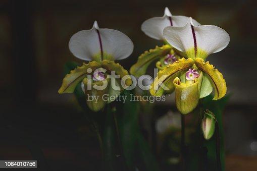 istock Lady's slipper orchid, Cypripedioideae Paphiopedilum 1064010756