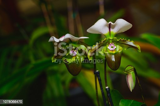 istock Lady's slipper orchid, Cypripedioideae Paphiopedilum 1078066470