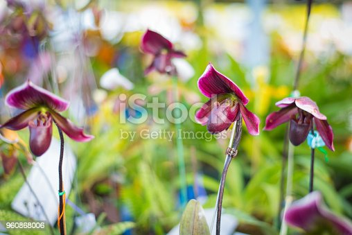 Lady's Slipper orchid flower ( Paphiopedilum ) purple colour in the garden.