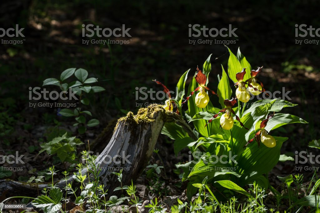 Lady's Slipper Orchid flower. Yellow with red petals blooming flower in natural environment. Lady Slipper, Cypripedium calceolus.  Kesselaid, a small island in Estonia. Nordic countries, Europe stock photo