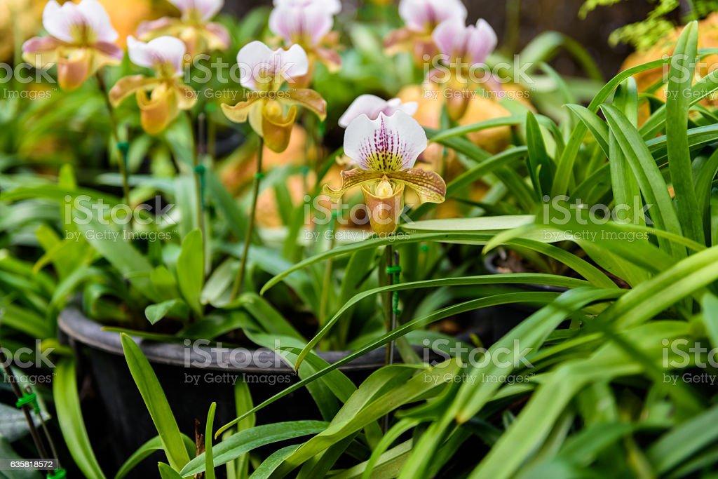Lady's slipper orchid. Paphiopedilum Callosum in natural backgro stock photo