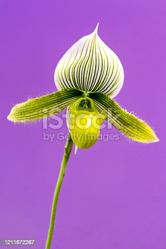 Close up of a Cypripedium calceolus (lady's slipper orchid)
