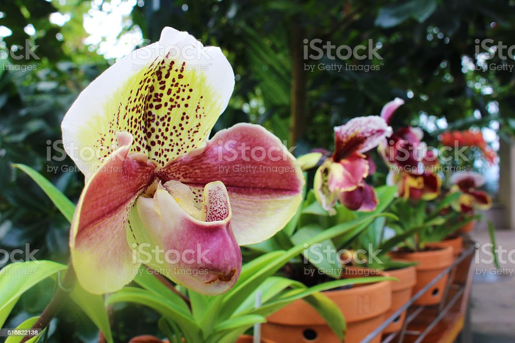 Lady's Slipper orchid stock photo