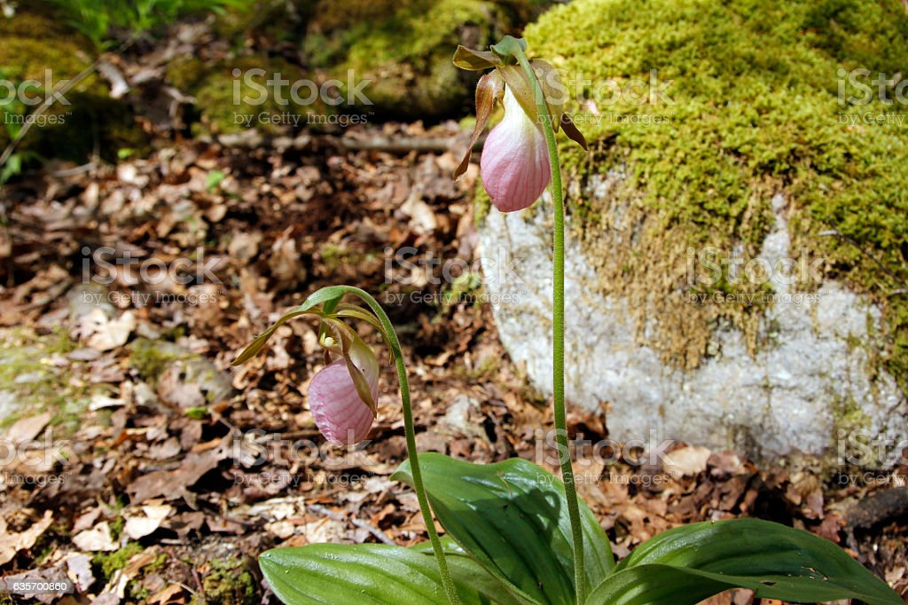 Lady's Slipper royalty-free stock photo