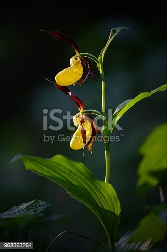 Close shot of a lady's-slipper orchid (Cypripedium calceolus) in a forest