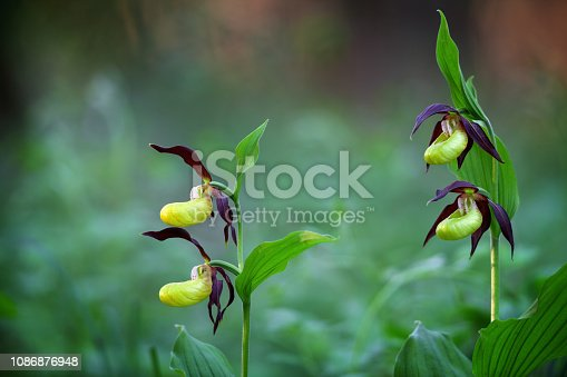 Cypripedium calceolus the largest orchid species in Europe.