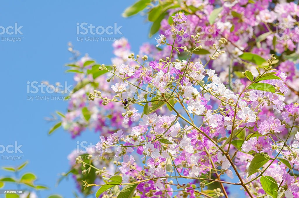Lagerstroemia floribunda stock photo