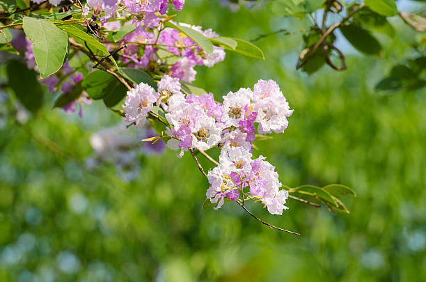 Lagerstroemia floribunda stock photo