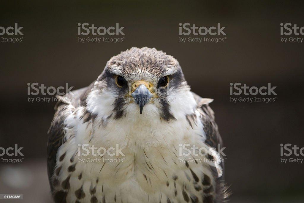 laggar falcon royalty-free stock photo