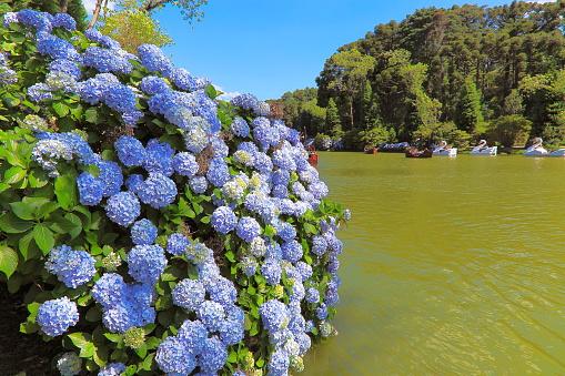 Lago Negro (Black Lake), idyllic landscape with Hydrangeas - Gramado, Rio Grande do Sul state - Southern Brazil