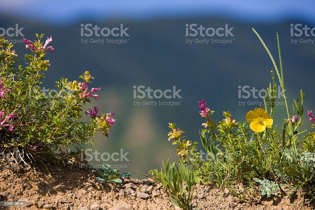 Lagochilus kaschgaricus Rupr/ Labiatae seu Lamiaceae and Glaucium flavum/Papaveraceae stock photo