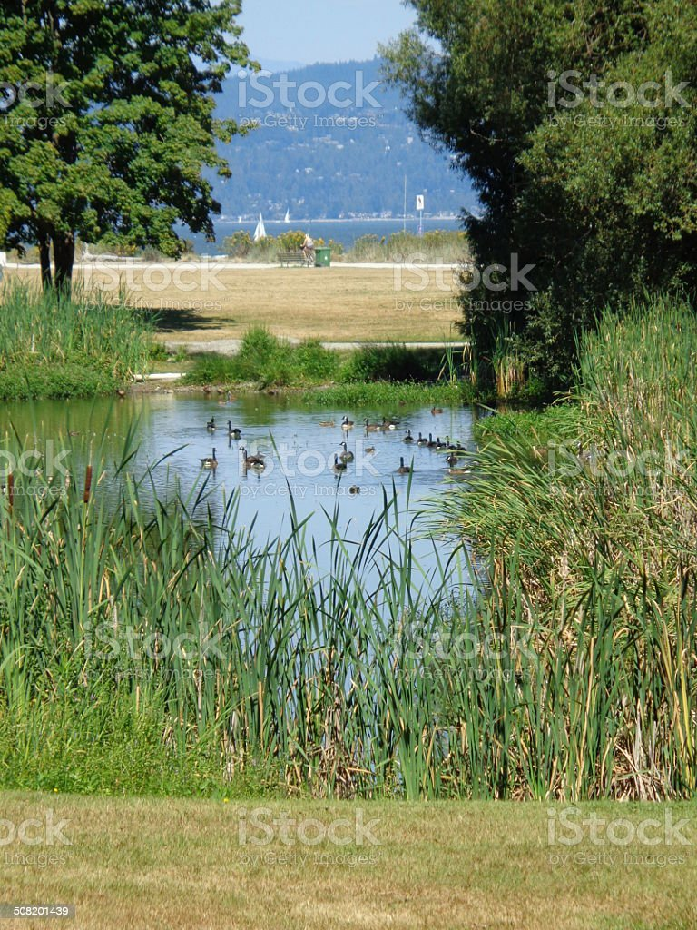lagoon and ducks with mountains and ocean in background stock photo