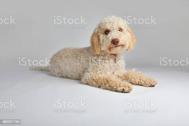 Lagotto romagnolo dog picture id692321794?b=1&k=6&m=692321794&s=612x612&h=my3yagitaoraublxrhxnxwphr1mm2glf0fc 8z3do5q=