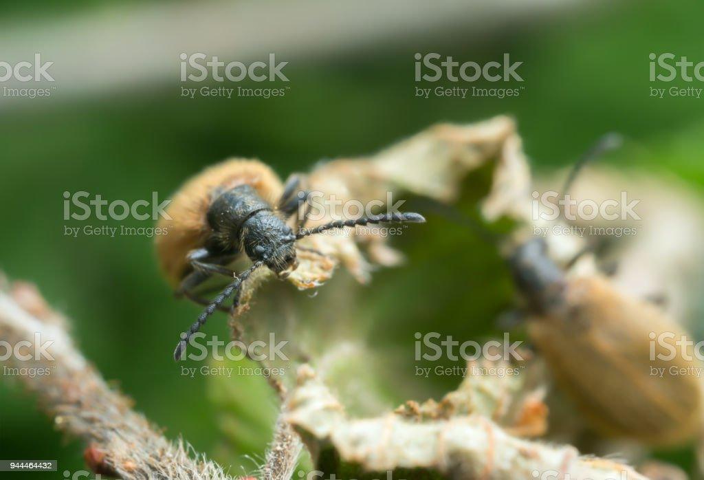Lagria hirta feeding on leaf stock photo