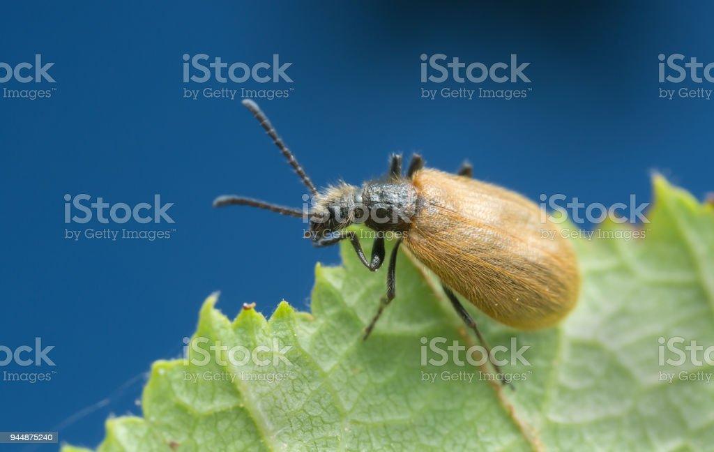 Lagria hirta on leaf stock photo