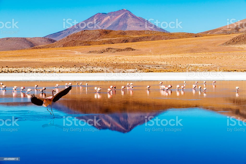 Laguna Bolivia landing flamingo stock photo