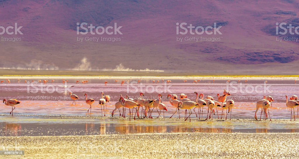 Laguna Colorada with flaminfos in the Andes of Bolivia stock photo