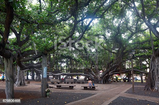 Lahaina, HI, USA - September 3, 2015: A view of the Banyan Tree in Courthouse Square in downtown Lahaina. The tree was planted in 1873 and is the largest tree of its kind in the United States.'