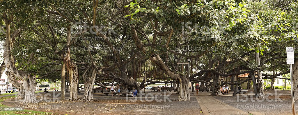 Lahaina Banyan tree, Maui stock photo
