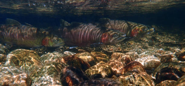 Lahontan Cutthroat Trout Eastern Sierra Nevada cutthroat stock pictures, royalty-free photos & images