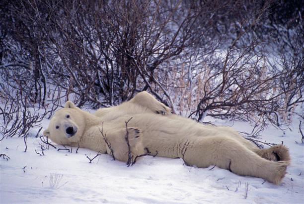 Laid Back Bear stock photo
