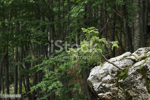Wind chaser, spruce on a rock in forest on Mount Vogel, Lake Bohinjsko jezero, Bohinj, Slovenia