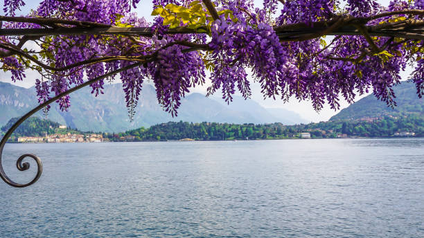 lake como framed by wisteria - lake como stock photos and pictures