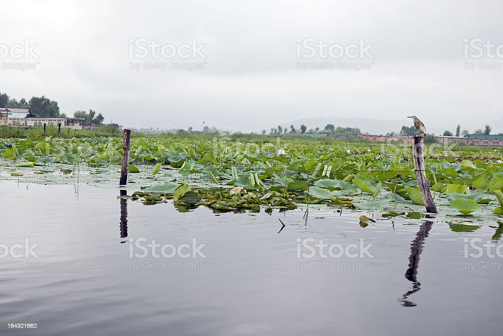 Lake Dal with Lotuses on Cloudy Day royalty-free stock photo