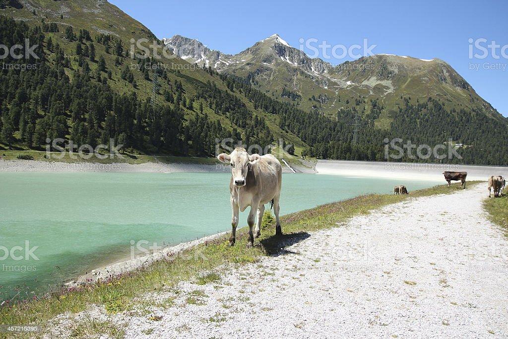 Lake Dam Kühe Die Berge Speicher Längental Kühtai Tirol Österreich ...