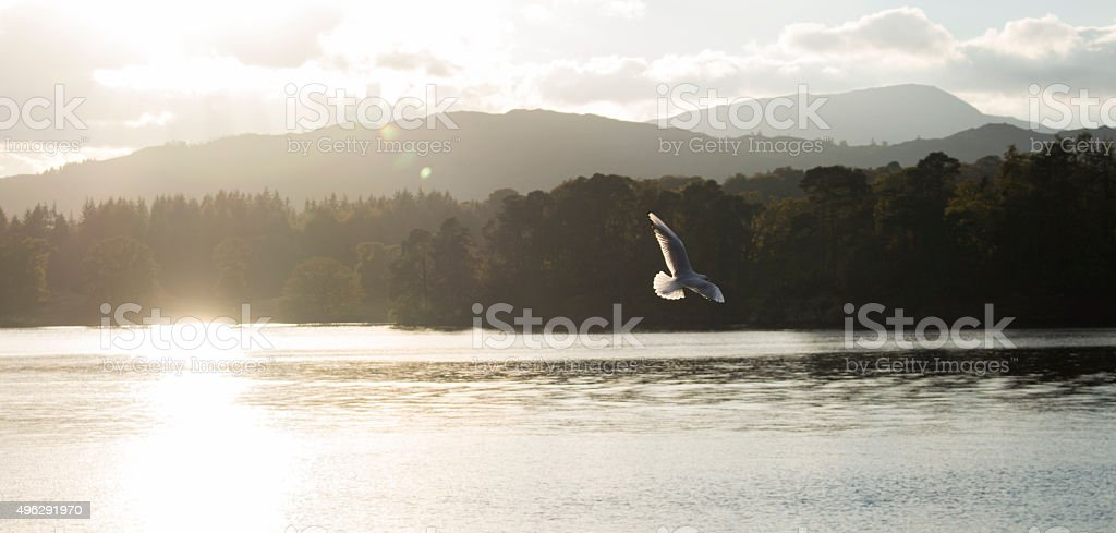 Lake District Bird Over Water Panorama stock photo