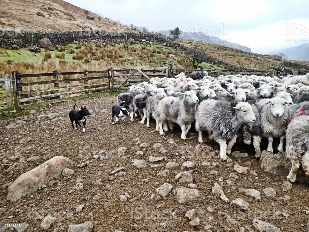 Lake District Fell Sheep - Herdwick Flock & Sheep Dogs stock photo