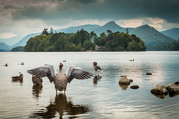 lake district goose - cumbria stock photos and pictures