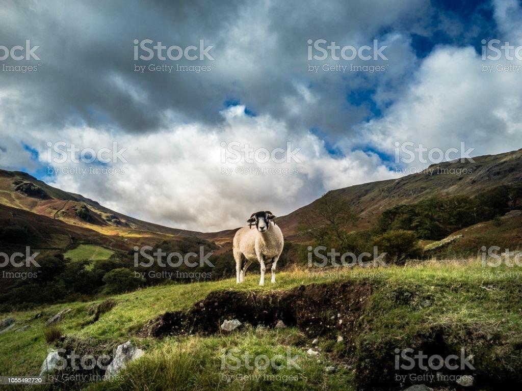 Lake District mountain views summit walk sheep stock photo