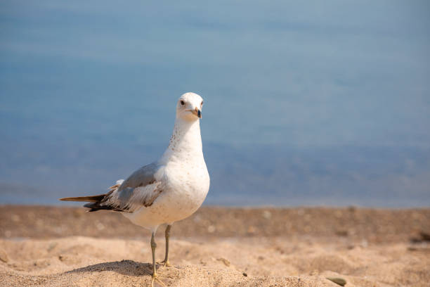 Lake Erie Seagull A lone seagull standing on the sandy beach at Presque Isle Stae park in Erie, PA. sdominick stock pictures, royalty-free photos & images