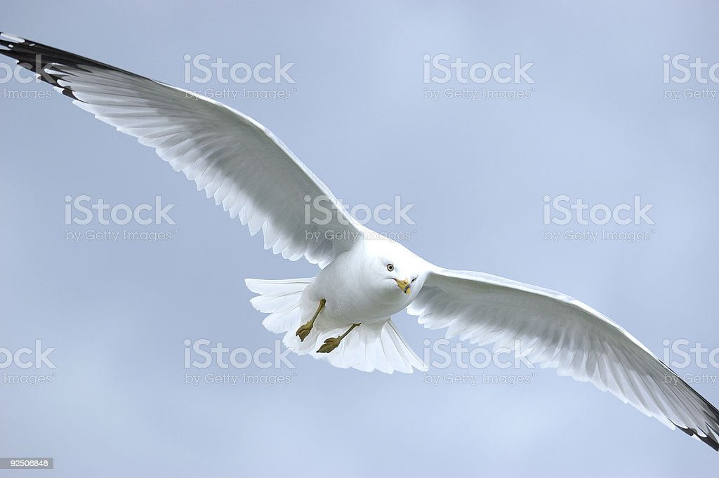 Lake Gull in flight royalty-free stock photo