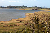 Plains in Sri Lanka, a herd of cows going to the little lake. The Sigiriya rock in the background