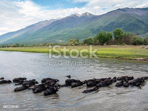 Buffalos at the Lake Kerkini area in Greece