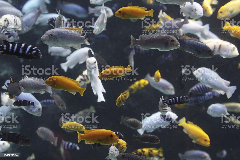 Lake Malawi Cichlids stock photo