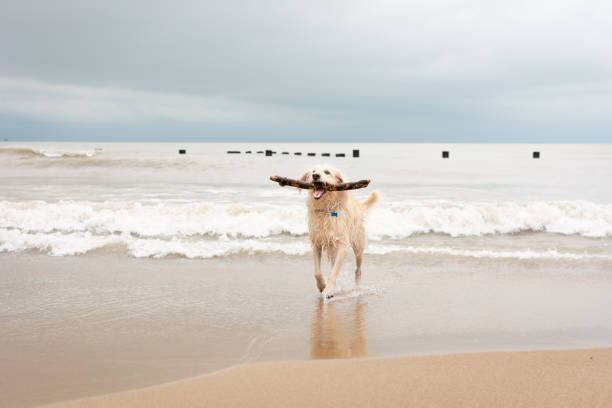 lake michigan beach with dog - lake michigan stock pictures, royalty-free photos & images