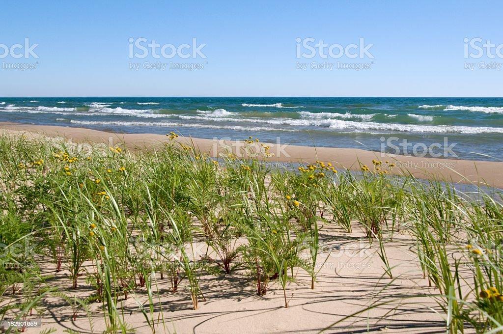 Lake Michigan Beach with Lake Huron Tansy stock photo