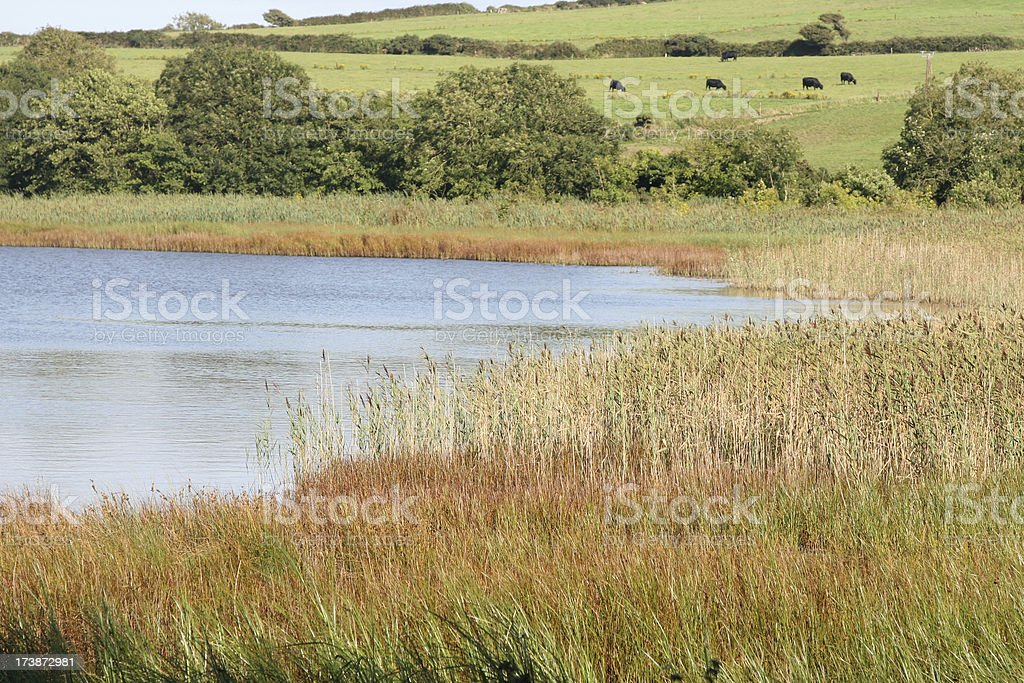 Lake, reed bed, fields and cattle, Ireland stock photo