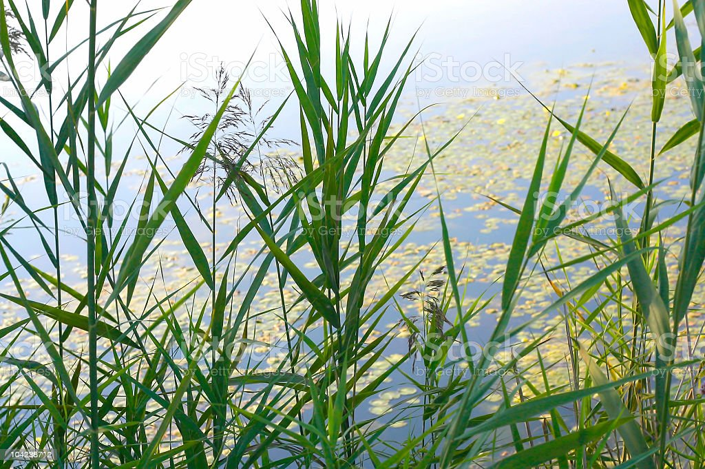 Lake Shore Plants royalty-free stock photo