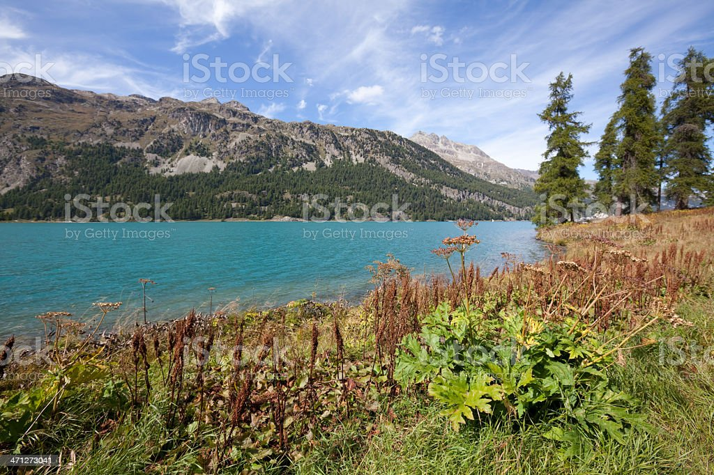 Lake Silvaplana with Meadow, Larches and Pine Forests, Engadine, Switzerland royalty-free stock photo