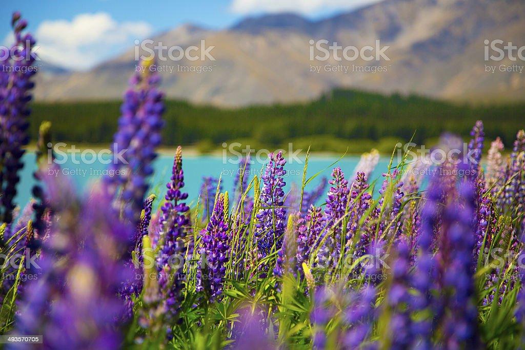 Lake Tekapo Lupins in full bloom stock photo