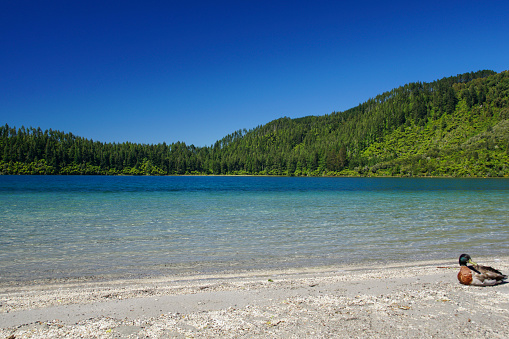 Lake Tikitapu (Blue Lake) near Rotorua New Zealand