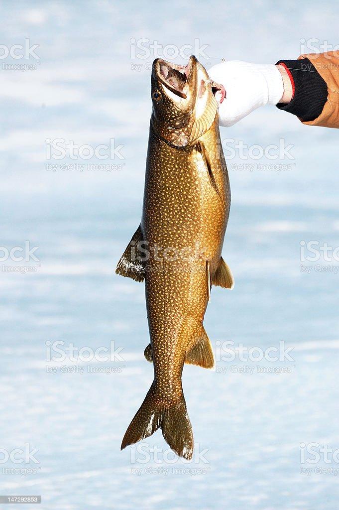 Lake Trout (Salvelinus namaycush) stock photo