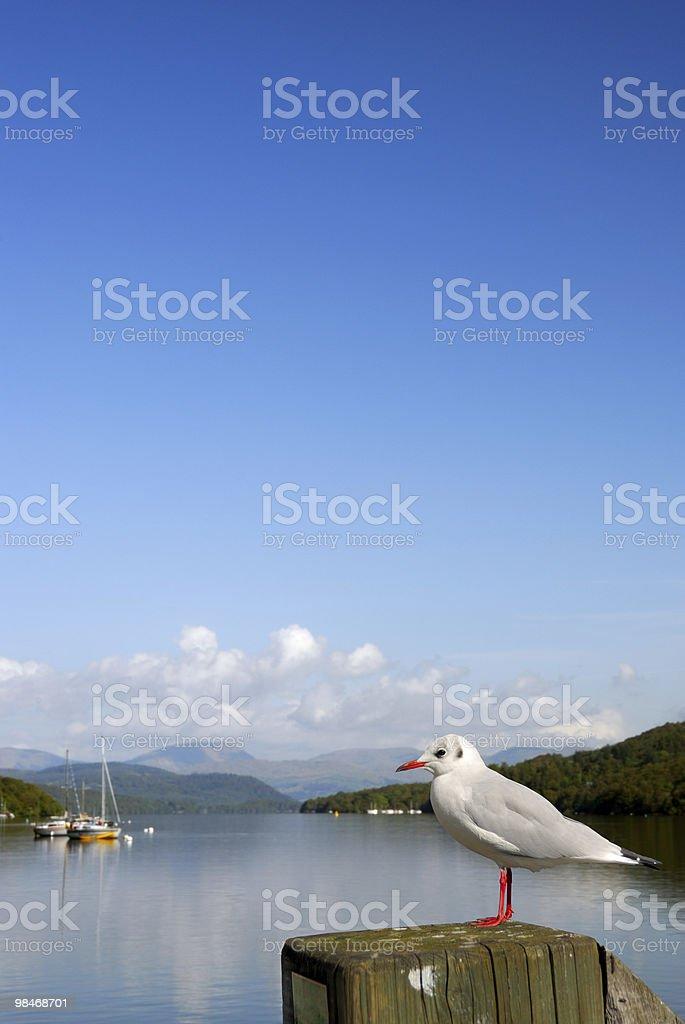 Lake Windermere Gull royalty-free stock photo