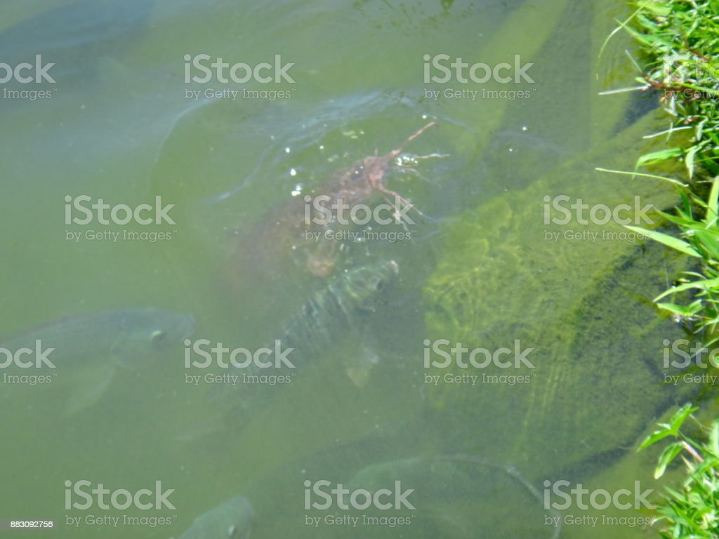 Lake with fishes stock photo